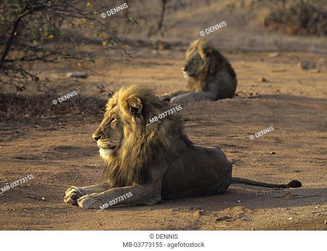 South Africa, Krüger Nationalpark park,  Lions, Panthera Leo, gaze, lie  on the side, fuzziness Africa, Krüger-Nationalpark, national park, reservation