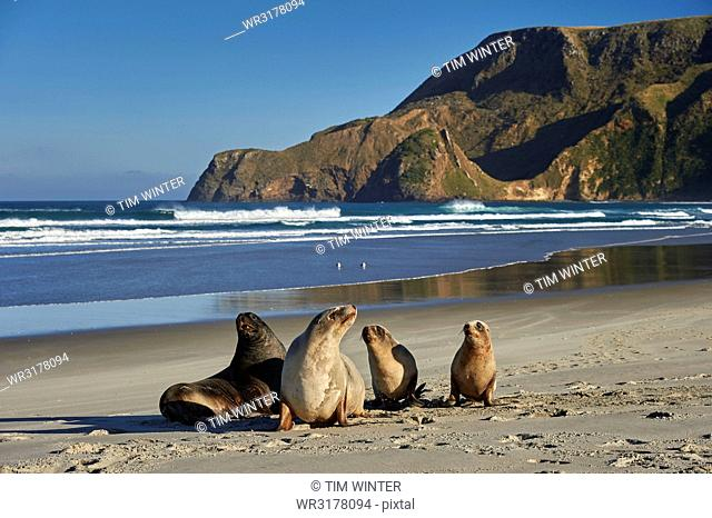 A group of juvenile New Zealand sea lions (Hooker's sea lions) at Allans Beach, Otago Peninsula, Otago, South Island, New Zealand, Pacific