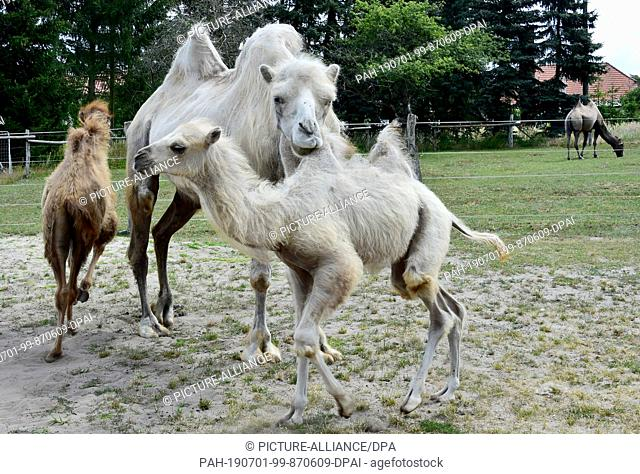 28 June 2019, Brandenburg, Nassenheide: Young camels run across the pasture of the Kamelhof. Already four animals were born in the last weeks