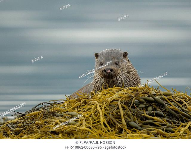 European Otter (Lutra lutra) adult male, looking over seaweed, Isle of Mull, Inner Hebrides, Scotland, September