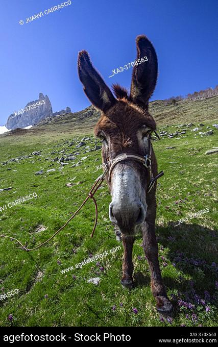 Donkey with Aiguilles d'Ansabere at backgroud, Lescun valley, French Pyrenees