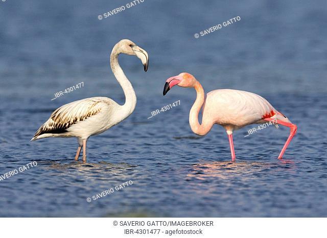 Greater Flamingos (Phoenicopterus roseus), juvenile and adult standing in water, Salalah, Dhofar, Oman