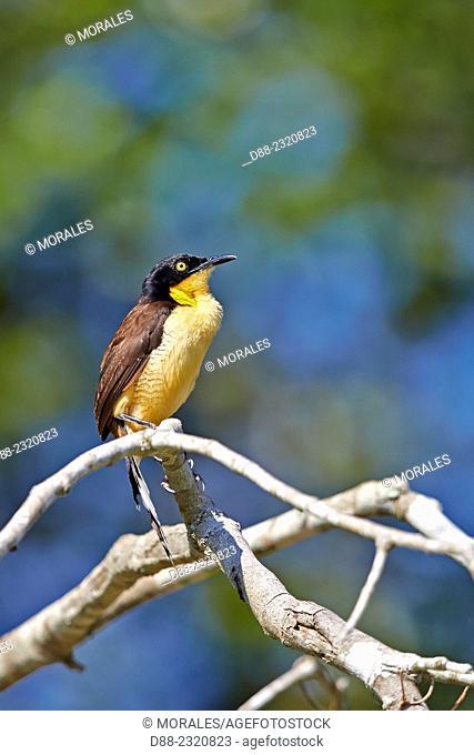 South America,Brazil,Mato Grosso,Pantanal area,river Cuiaba,Black-capped donacobius (Donacobius atricapilla),couple