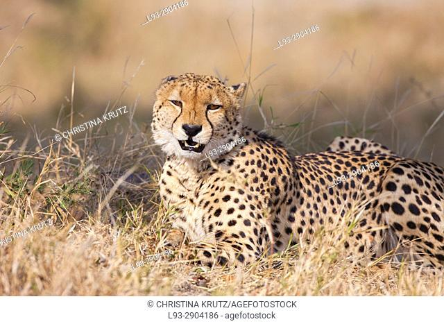 Cheetah (Acinonyx jubatus). Okavango Delta, Botswana, Africa