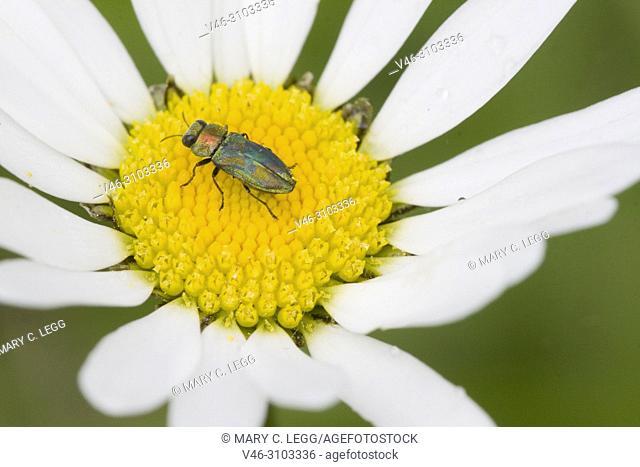 Jewel Beetle, Anthaxia nitidula