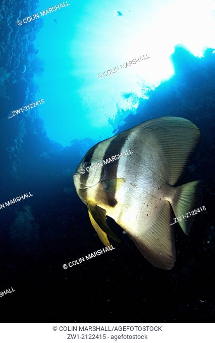 Blunthead Batfish (Platax teira) at Southwest Reong dive site off Wetar Island near Alor in eastern Indonesia