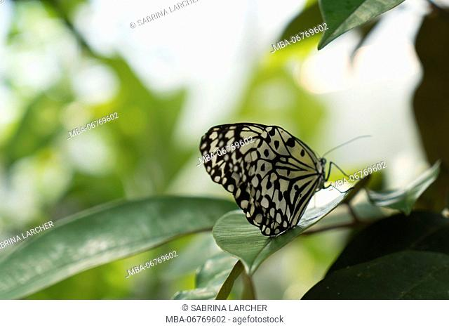 Butterfly sits on leaf, paper kite, Idea leuconoe