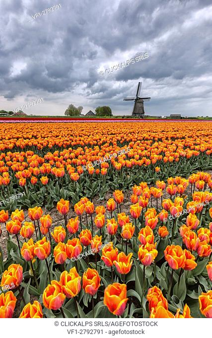 Dark clouds on fields of multicolored tulips and windmill Berkmeer Koggenland North Holland Netherlands Europe