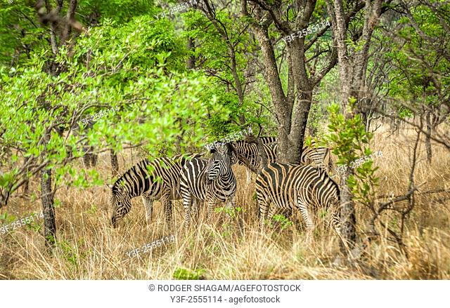 The plains zebra (Equus quagga), also known as the common zebra or Burchell's zebra, is the most common and geographically widespread species of zebra