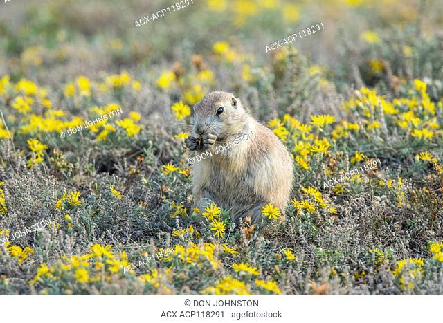 Black-tailed prairie dog (Cynomys ludovicianus) Feeding in patch of late-summer asters, Theodore Roosevelt NP (South Unit), North Dakota, USA