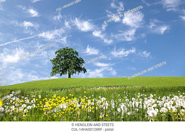 oak tree on hill in spring