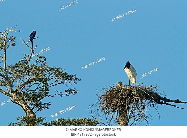 Jabiru (Jabiru mycteria), stands on the nest, Pantanal, Mato Grosso, Brazil