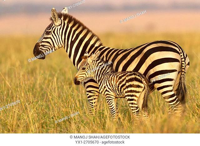 Zebra mother with foal, Masai Mara National Reserve, Kenya