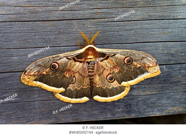 Large Emperor Moth, Giant Peacock Moth, Great Peacock Moth, Giant Emperor Moth, Viennese Emperor (Saturnia pyri), male at a wooden wall, Germany