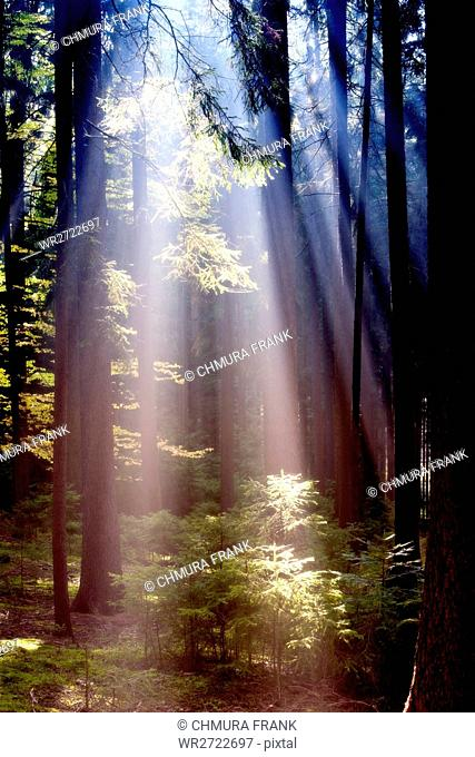 autumn forest scene with sunrays shining through branches