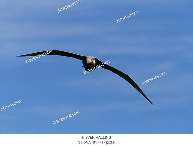 Southern Giant Petrel, Valdez, Argentina