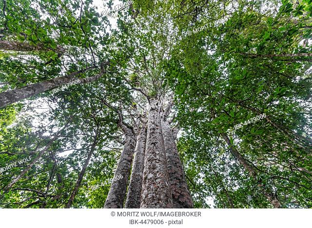 Four Kauri trees (Agathis australis) standing together, The Four Sisters, Waipoua forest, Northland, North Island, New Zealand