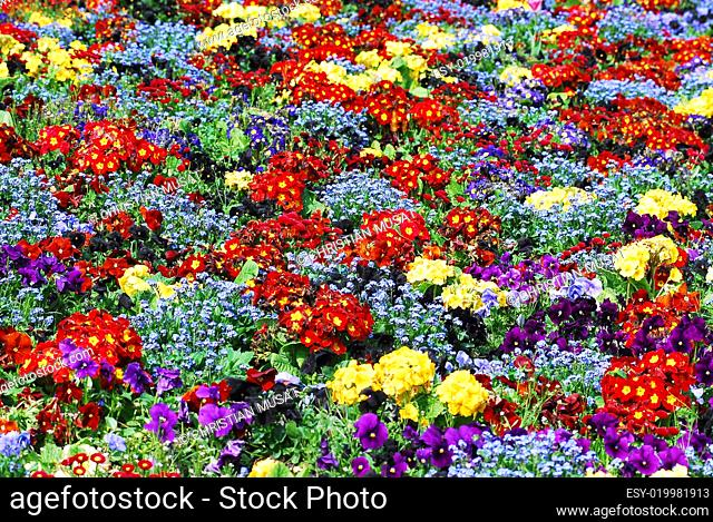 Bed of primroses and forget-me-not