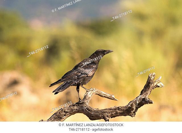 Common raven (Corvus corax). Fresnedilla de la Oliva, Madrid Province, Spain