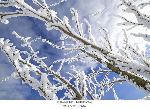 Snow covered branch in winter, Mount Fichtelberg, Oberwiesenthal, Erzgebirge, Ore Mountains, Saxony, Germany, Europe