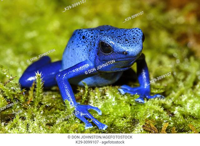 "Dyeing dart frog, tinc or dyeing poison frog (Dendrobates tinctorius) """"azureus"""", Understory Enterprises, Captive raised, Native to: Guyana, Suriname"