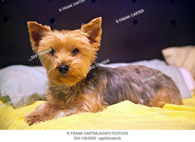 A portrait of a Yorkshire Terrier