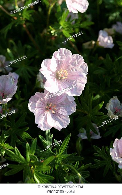 A pink perennial Geranium in bloom