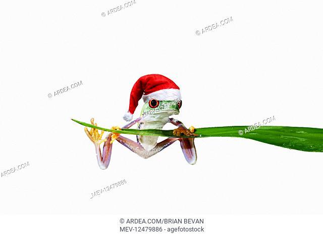 Red eyed tree frog, balanced on reed wearing