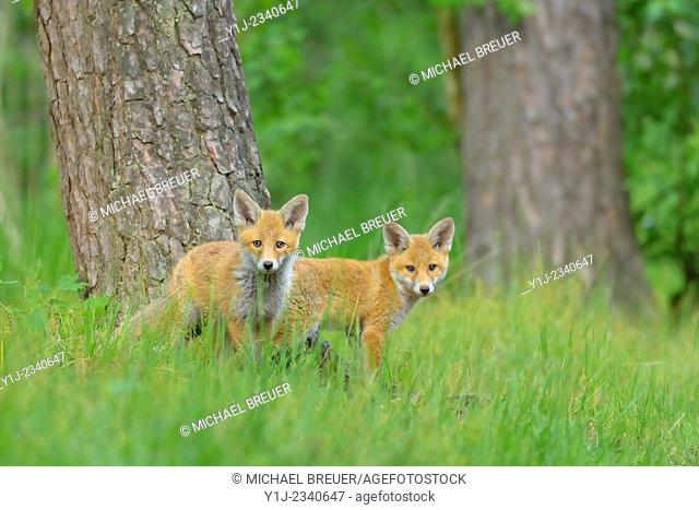 Young Red Foxes, Vulpes vulpes, Hesse, Germany, Europe