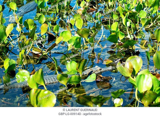 Animal, Alligator, Pantanal, Mato Grosso do Sul, Brazil
