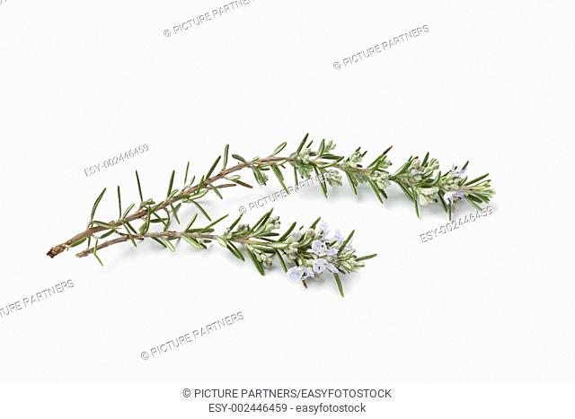 Twigs of fresh blooming rosemary on white background