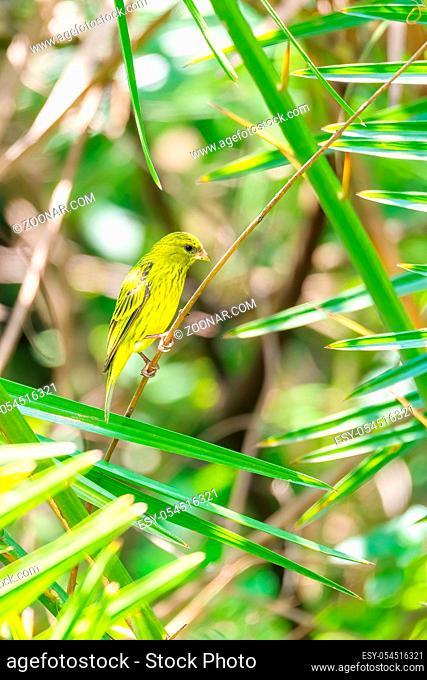 The yellow-crowned canary (Serinus flavivertex) is a small passerine bird in the finch family. Wondo Genet, Ethiopia Africa safari wildlife