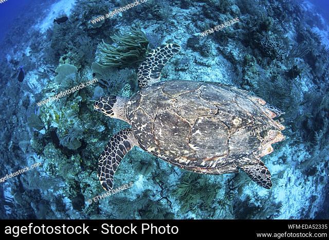 Hawksbill Sea Turle, Eretmochelys imbricata, Turneffe Atoll, Caribbean, Belize