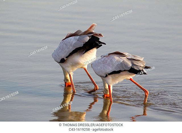 Yellow-billed Stork Mycteria ibis - Fishing pair  Sunset Dam, Kruger National Park, South Africa