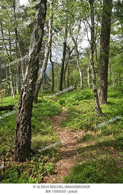 Forest on Mt. Teichstein, Saxon Switzerland, Elbsandsteingebirge Elbe Sandstone Mountains, Saxony, Germany, Europe