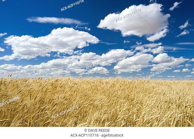 a mature, harvest ready durum wheat field, near Ponteix, Saskatchewan, Canada