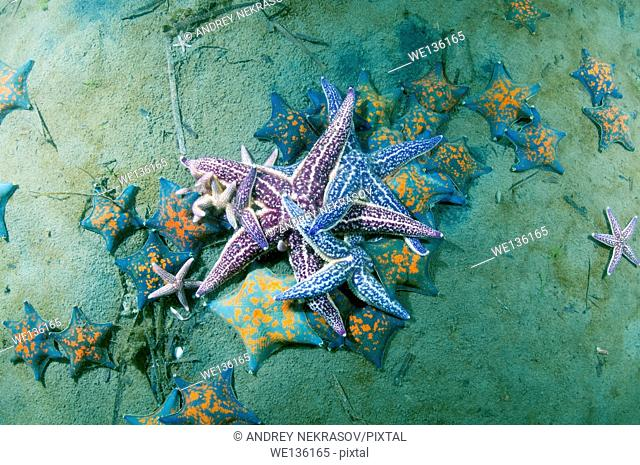 many Northern Pacific seastar or Japanese common starfish (Asterias amurensis) Sea of Japan, Far East, Primorsky Krai, Russian Federation