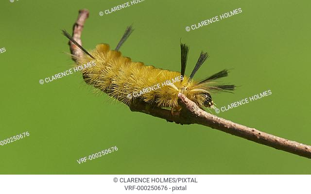 A Banded Tussock Moth (Halysidota tessellaris) caterpillar moves on a stick