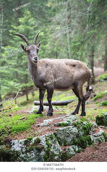 Female alpine ibex, Capra ibex, looking at camera from a rock in a wood