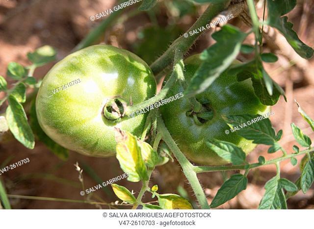 tomato plant in the home garden
