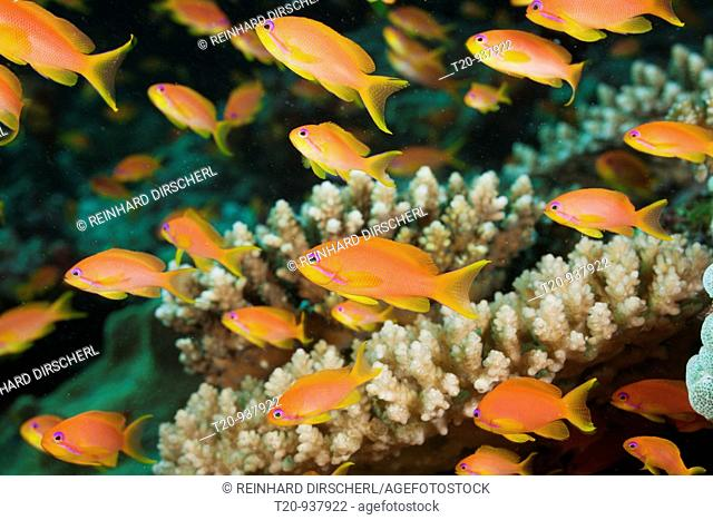 Lyretail Anthias in Coral Reef, Pseudanthias squamipinnis, North Ari Atoll, Maldives