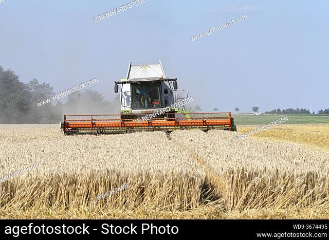 harvesting wheat, rye, combine harvester