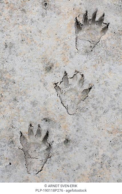North American raccoon / racoon (Procyon lotor) close-up of footprints in wet sand / mud