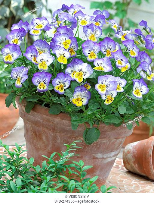 Pansies 'Blue Seal' in flowerpot