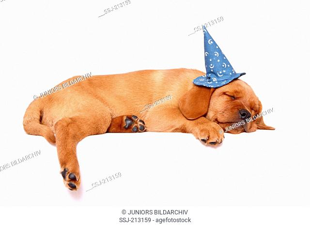 Labrador Retriever. Puppy (8 weeks old) sleeping, wearing magicians hat. Studio picture against a white background. Germany