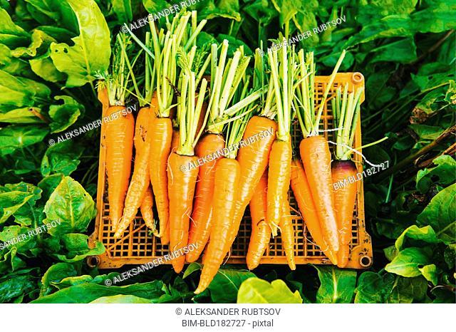 Crate of carrots in garden