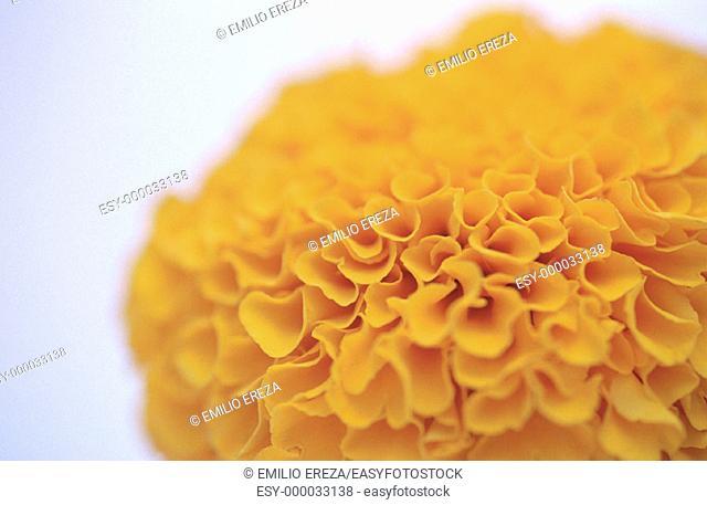 Marigold (Tagetes sp.)