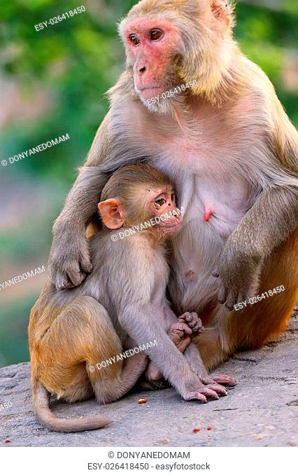 Rhesus macaque (Macaca mulatta) with a baby sitting on a wall in Jaipur, India. Jaipur is the capital and the largest city of Indian state of Rajasthan
