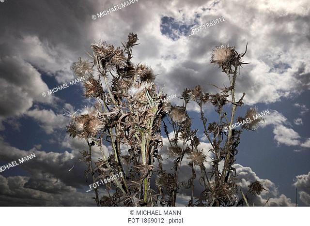 Thorny branches against cloudy sky