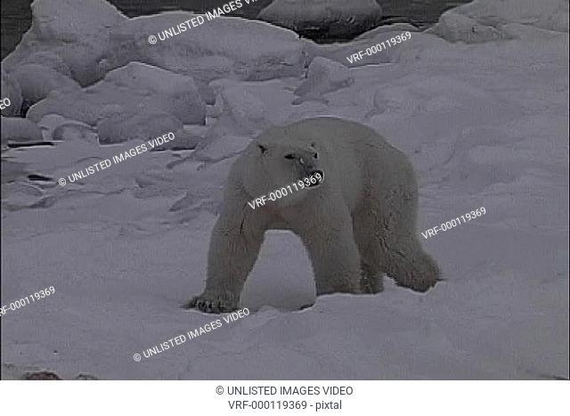 Bear sniffs blood on snow